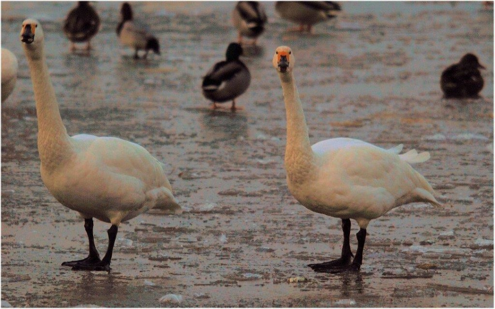 Bewick's touch down at Slimbridge!